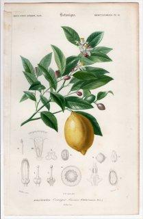 1849年 D'Orbigny 万有博物事典 Pl.18 ミカン科 ミカン属 レモン Citrus limonium