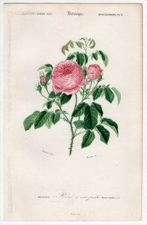 1849年 D'Orbigny 万有博物事典 Pl.9 バラ科 バラ属 Rosa centifolia