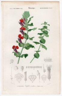 1849年 D'Orbigny 万有博物事典 Pl.27 ミソハギ科 タバコソウ属 Cuphea miniata