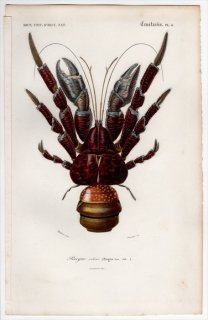 1849年 D'Orbigny 万有博物事典 甲殻類 Pl.4 オカヤドカリ科 ヤシガニ属 ヤシガニ Birgus latro