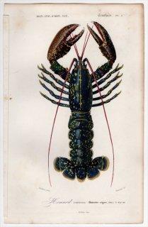 1849年 D'Orbigny 万有博物事典 甲殻類 Pl.3 アカザエビ科 ウミザリガニ属 ヨーロッパロブスター Homarus vulgaris