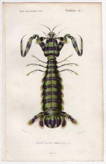 1849年 D'Orbigny 万有博物事典 甲殻類 Pl.5 トラフシャコ科 トラフシャコ属 トラフシャコ Squilla maculata
