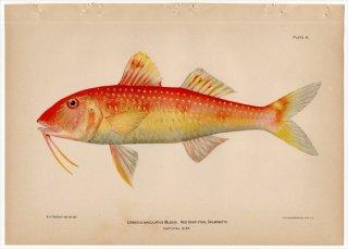 1899年 Bowers プエルトリコの水産資源 Pl.4 ヒメジ科 ベニヒメジ属 スポッテッドゴートフィッシュ UPENEUS MACULATUS