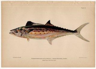1899年 Bowers プエルトリコの水産資源 Pl.6 サバ科 サワラ属 スパニッシュマッカレル SCOMBEROMORUS MACULATUS