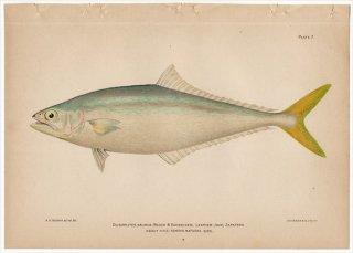 1899年 Bowers プエルトリコの水産資源 Pl.7 アジ科 オオクチアジ レザージャケット OLIGOPLITES SAURUS