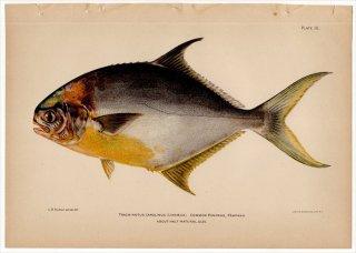 1899年 Bowers プエルトリコの水産資源 Pl.10 アジ科 コバンアジ属 コバンアジ TRACHINOTUS CAROLINUS
