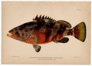 1899年 Bowers プエルトリコの水産資源 Pl.13 ハタ科 マハタ属 レッドハインド EPINEPHELUS MACULOSUS