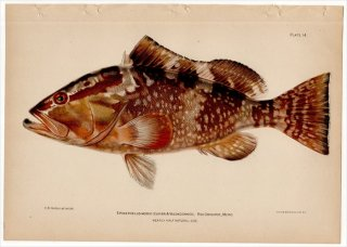 1899年 Bowers プエルトリコの水産資源 Pl.14 ハタ科 マハタ属 ツマグロハタ EPINEPHELUS MORIO