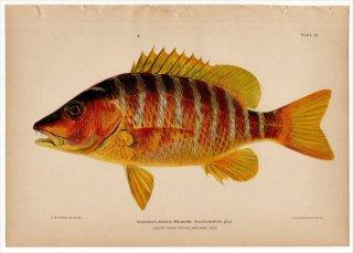 1899年 Bowers プエルトリコの水産資源 Pl.19 フエダイ科 フエダイ属 NEOMAENIS APODUS