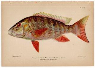 1899年 Bowers プエルトリコの水産資源 Pl.21 フエダイ科 フエダイ属 マトンスナッパー NEOMAENIS ANALIS