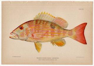 1899年 Bowers プエルトリコの水産資源 Pl.22 フエダイ科 フエダイ属 キセンフエダイ NEOMAENIS SYNAGRIS