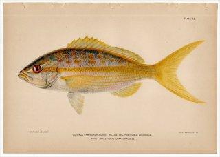 1899年 Bowers プエルトリコの水産資源 Pl.23 フエダイ科 オキュルス属 イエローテイルスナッパー OCYURUS CHRYSURUS