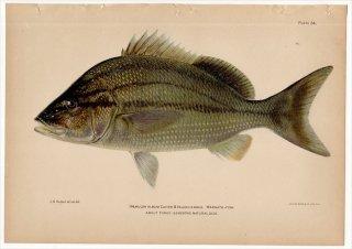 1899年 Bowers プエルトリコの水産資源 Pl.24 イサキ科 タイセイヨウイサキ属 HAEMULON ALBUM