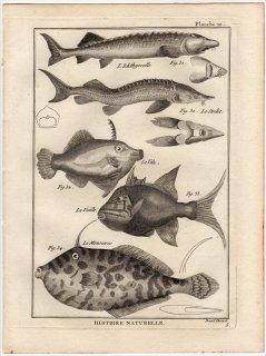1788年 Bonnaterre 魚類事典 Pl.10 コチョウザメ オオチョウザメ フチドリカワハギ モンガラカワハギ ウスバハギ 5種