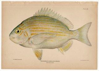 1899年 Bowers プエルトリコの水産資源 Pl.26 タイ科 アメリカチヌ属 ARCHOSARGUS UNIMACULATUS