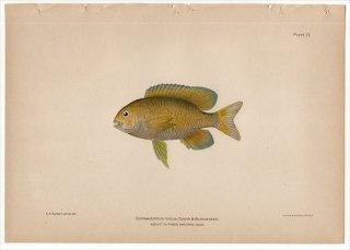 1899年 Bowers プエルトリコの水産資源 Pl.27 スズメダイ科 クロソラスズメダイ属 EUPOMACENTRUS FUSCUS