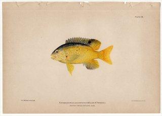 1899年 Bowers プエルトリコの水産資源 Pl.28 スズメダイ科 クロソラスズメダイ属 EUPOMACENTRUS LEUCOSTICTUS