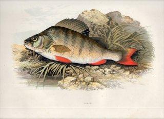 1879年 Houghton 英国の淡水魚類 ペルカ科 ペルカ属 ヨーロピアンパーチ PERCH