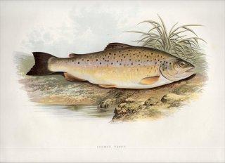 1879年 Houghton 英国の淡水魚類 サケ科 タイセイヨウサケ属 ブラウントラウト COMMON TROUT