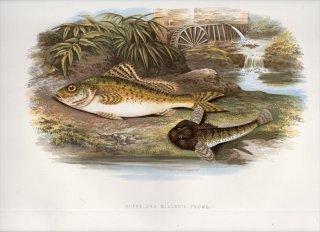 1879年 Houghton 英国の淡水魚類 ペルカ科 ギムノケファルス属 ラッフ RUFFE カジカ科 カジカ属 ヨーロピアンブルヘッド MILLER'S THUMB