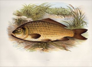 1879年 Houghton 英国の淡水魚類 コイ科 コイ属 コイ CARP