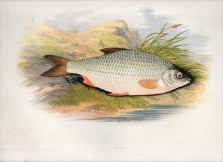 1879年 Houghton 英国の淡水魚類 コイ科 ルチルス属 ローチ ROACH