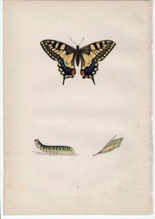 1890年 Morris 英国蝶類史 Pl.1 アゲハチョウ科 アゲハチョウ属 キアゲハ SWALLOW-TAIL