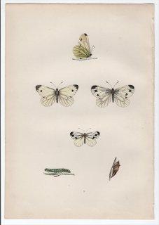 1890年 Morris 英国蝶類史 Pl.9 シロチョウ科 モンシロチョウ属 エゾスジグロシロチョウ GREEN VEINED