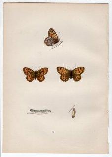 1890年 Morris 英国蝶類史 Pl.16 タテハチョウ科 ツマジロウラジャノメ属 GATE KEEPER