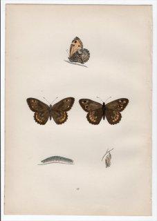 1890年 Morris 英国蝶類史 Pl.17 タテハチョウ科 タカネジャノメ属 キマダラタカネジャノメ ROCK-EYED UNDERWING