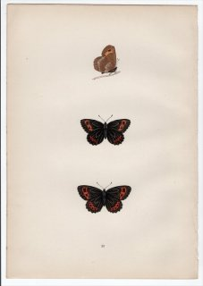 1890年 Morris 英国蝶類史 Pl.23 タテハチョウ科 ベニヒカゲ属 スコッチベニヒカゲ SCOTCH ARGUS
