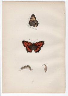 1890年 Morris 英国蝶類史 Pl.30 タテハチョウ科 コヒオドシ属 コヒオドシ SMALL TORTOISE-SHELL