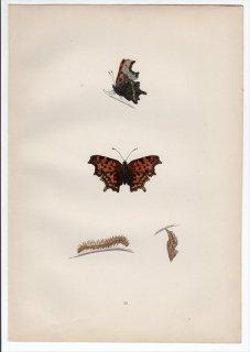 1890年 Morris 英国蝶類史 Pl.32 タテハチョウ科 キタテハ属 シータテハ COMMA