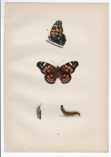 1890年 Morris 英国蝶類史 Pl.34 タテハチョウ科 アカタテハ属 ヒメアカタテハ PAINTED LADY