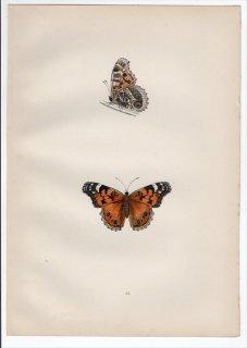 1890年 Morris 英国蝶類史 Pl.35 タテハチョウ科 アカタテハ属 バージニアヒメアカタテハ SCARCE PAINTED LADY