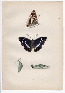 1890年 Morris 英国蝶類史 Pl.36 タテハチョウ科 コムラサキ属 イリスコムラサキ PURPLE EMPEROR