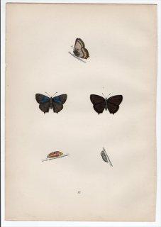1890年 Morris 英国蝶類史 Pl.37 シジミチョウ科 オオミドリシジミ属 PURPLE HAIRSTREAK