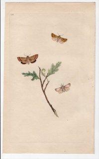 1796年 Donovan 英国の昆虫の自然史 Pl.150 シャクガ科 ロマスピリス属 シロオビヒメエダシャク PHALAENA MARGINATA