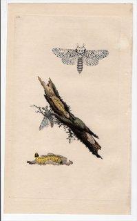 1796年 Donovan 英国の昆虫の自然史 Pl.152 ボクトウガ科 ゼウゼラ属 PHALAENA AESCULI