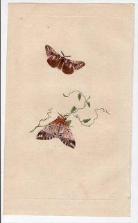 1796年 Donovan 英国の昆虫の自然史 Pl.158 カバガ科 エンドロミス属 PHALAENA VERSICOLORA