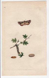 1796年 Donovan 英国の昆虫の自然史 Pl.165 ヤガ科 アロフィエス属 PHALAENA OXYACANTHAE