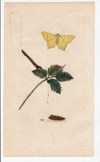 1796年 Donovan 英国の昆虫の自然史 Pl.170 トモエガ科 カトカラ属 ムラサキシタバ PHALAENA FRAXINI