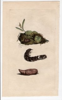 1796年 Donovan 英国の昆虫の自然史 Pl.172 シジミチョウ科 ベニシジミ属 PAPILIO VIRGAUREAE 幼虫 蛹