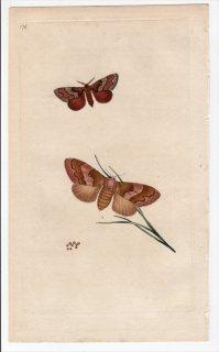 1796年 Donovan 英国の昆虫の自然史 Pl.178 カレハガ科 デンドロリムス属 PHALAENA PINI