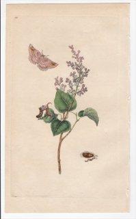 1797年 Donovan 英国の昆虫の自然史 Pl.181 シャクガ科 アペイラ属 イチモジエダシャク PHALAENA SYRINGARIA