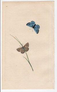1797年 Donovan 英国の昆虫の自然史 Pl.184 シジミチョウ科 ゴマダラシジミ属 PAPILIO ARION