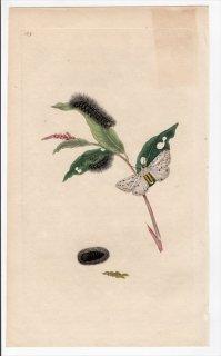 1797年 Donovan 英国の昆虫の自然史 Pl.189 トモエガ科 エスチグメネ属 PHALAENA MENTHRASTIRI
