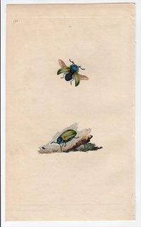 1797年 Donovan 英国の昆虫の自然史 Pl.194 ハムシ科 ヨモギハムシ属 CHRYSOMELA FASTUOSA
