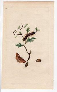 1797年 Donovan 英国の昆虫の自然史 Pl.210 カレハガ科 エリオガステル属 PHALAENA LANESTRIS