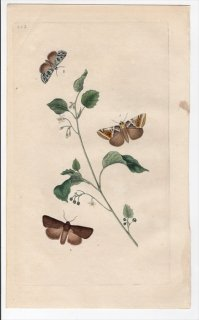 1798年 Donovan 英国の昆虫の自然史 Pl.223 カギバガ科 ハブロシネ属 アヤトガリバ ヤガ科 カラスヨトウ属 3種